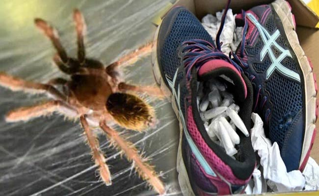 poisonous spider inside the shoes